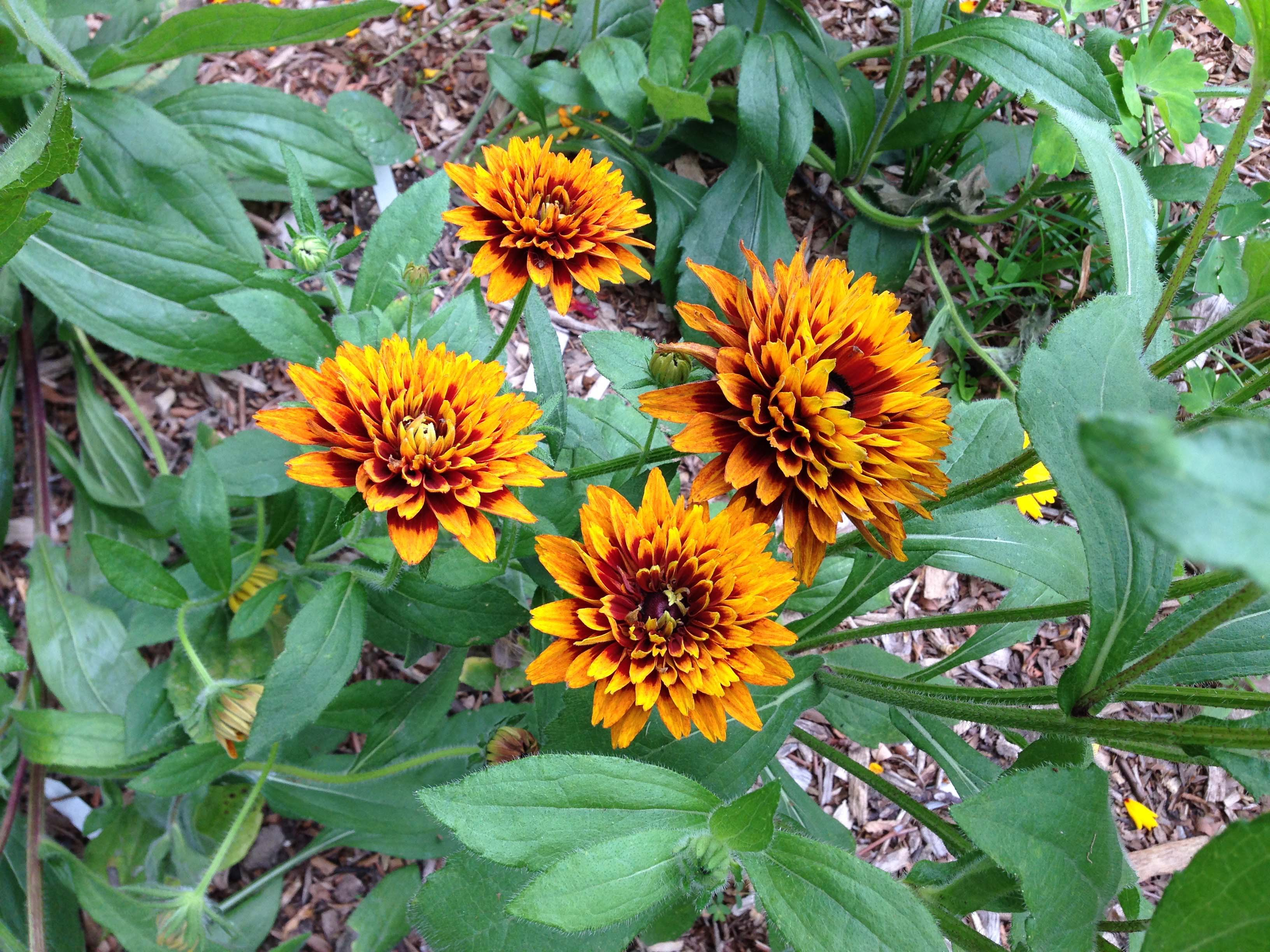 Рудбекия: выращивание из семян, посев и уход за рассадой 84
