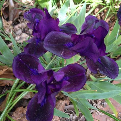 inky dink iris