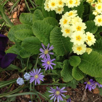 primrose anemone muscari